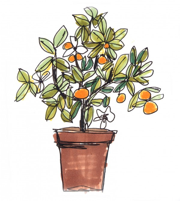 orange blossom illustration by lolita